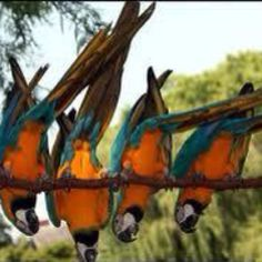 Bottoms up! #Macaw #Parrots.