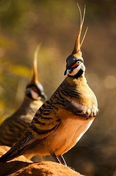 Spinifex Pigeons from Australia. A very stunning bird with their erect crests, yellow eyes and red eye masks!