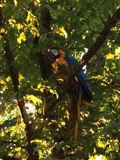 SIGHTING MACAW: 06/21/2017 - Seattle, Washington, WA, United States. Ref#: V31901 - #CritterAlert #ParrotSighting #BirdSighting #MacawSighting