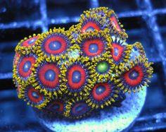 Eagle Eye Zoas FragJunky.com www.facebook.com/FragJunkyCorals