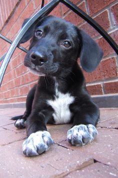 german shorthaired pointer black lab mix - Google Search