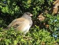 A Dark Eyed Junco relaxes in the afternoon sun.