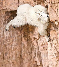 Goat on a… well.. it's on.. not very much at all. Be careful Goat!  How Far Would You Go For Salt?