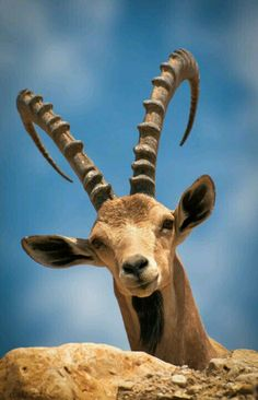 Wild Animals - Ibex are accomplished mountaineers.