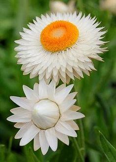 Helichrysum bracteatum 'Double White'