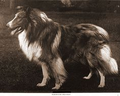 Old Photos of Scotch Collies