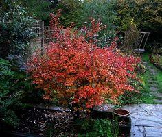 Prunus incisa Kojo-no-Mai - Prunus incisa - Wikipedia, the free encyclopedia