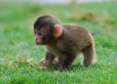 Baby snow monkeys born in Scotland.