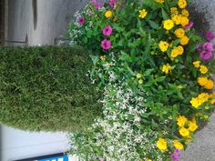A beautiful container at the Milwaukee County Zoo.  Lantana, Diamond Frost, Petunias and an Evergreen.