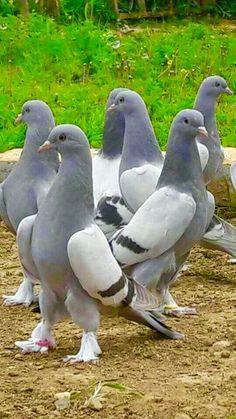 Light Gray and White & Dark Gray Stripped Pigeons Rare Birds, Exotic Birds, Colorful Birds, Pigeon Bird, Dove Pigeon, Pigeon Pictures, Bird Pictures, Pretty Birds, Beautiful Birds