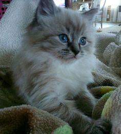 Ragdoll kitten!
