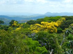 Guayacan Trumpet Trees by Jenn Sinasac  Via Flickr:  Guayacan trees (Tabebuia guayacan) in full bloom in the canopy of Soberania National Park, Panama