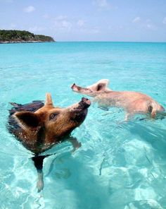 Swimming Pigs - Pigs Beach Exuma, Bahamas. An amazing island where you can swim with pigs in the ocean!