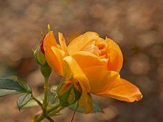 Andrea Potratz: orange Rose - Glasbild 60 x 80 cm
