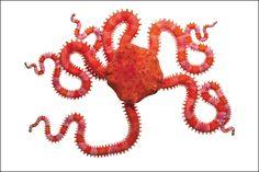 . Brittle Star, Rare Species, Underwater Creatures, Animal Species, Animal Projects, Rare Photos, Marine Life, Sea Creatures, Beautiful Creatures
