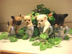 Chihuahuas everywhere