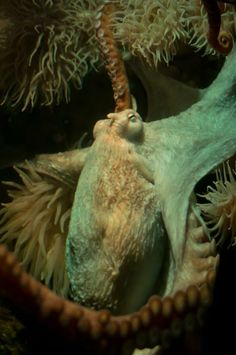 Octopus are smart enough to let themselves out of their aquarium tank, walk across the floor and help themselves to fish in a neighbouring tank. ~via neaq