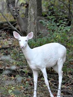 Albino Deer, Rare Albino Animals, Unusual Animals, Beautiful Creatures, Animals Beautiful, Whitetail Deer Pictures, Deer Photos, Melanistic Animals, Kensington