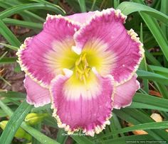 Day-Lily: Hemerocallis 'Labyrinth of Solitude' [Family: Xanthorrhoeaceae]