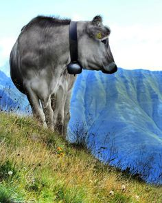 Wanderbegegnung in der Tiroler Alpenwelt.  #austria #österreich Horses, Animals, Cow, Mountains, Hiking, Animales, Animaux, Animal, Animais