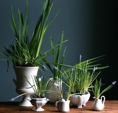 Muscari bulbs in white pots, Amy Merrick, Design Sponge Daffodil Bulbs, Daffodils, Table Arrangements, White Vases, Green Plants, Winter Garden, My Flower, Pretty Flowers, Indoor Plants