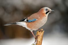 Photograph Winter jay 3 by Mike Pearce on 500px