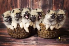 Baskets full of fluff ~ Keeshonds