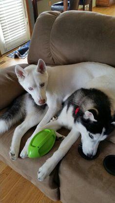 Sasha and Koda Siberian Huskies