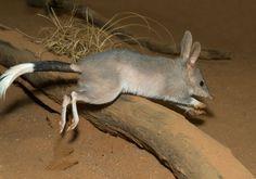 Meet the Endangered Adorable Australian Bilby - http://animalsilo.com/meet-the-endangered-adorable-australian-bilby/