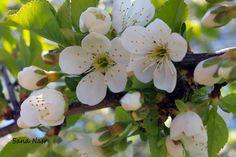 photos fleur de cerisier