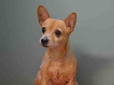 Manhattan Center FULGENCIO - A1026071 MALE, TAN / WHITE, CHIHUAHUA SH MIX, 7 yrs STRAY - STRAY WAIT, NO HOLD Reason STRAY Intake condition EXAM REQ Intake Date 01/22/2015, https://www.facebook.com/photo.php?fbid=950989351580611