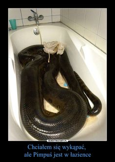 Funny lol -- I got him 5 years ago as a little anoconda and now he& almost 10 feet long of muscle Spiders And Snakes, Cool Snakes, Colorful Snakes, Les Reptiles, Cute Reptiles, Reptiles And Amphibians, Giant Anaconda, Anaconda Snake, Beautiful Snakes