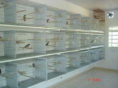 Canary Breeding
