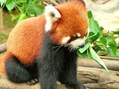 Baby Red Panda....oh my gosh it looks like a kitty and a panda in one!!!