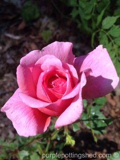 Roses in October, www.purplepottingshed.com