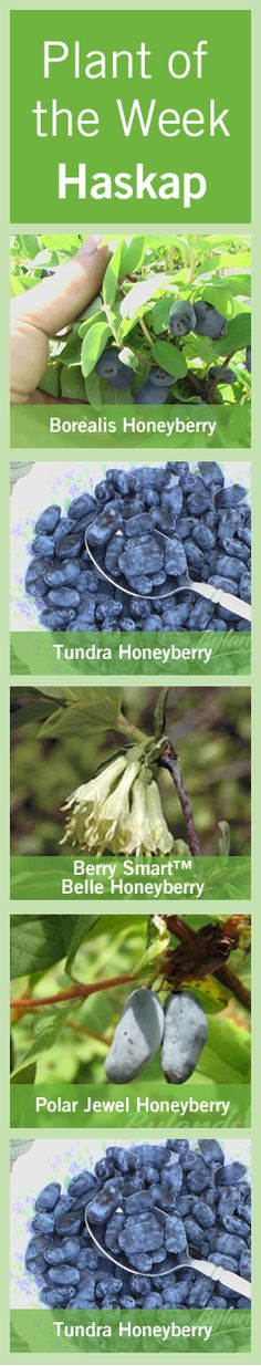 #Canada's #SUPERBERRY - #Haskaps are similar to a #blueberry but are larger, fleshier but with a wilder fruitier flavor that can be enjoyed early in the season, even before your #strawberries ripen.  Haskaps are not shaped much like a round blueberry read more here http://www.bylands.com/blog-entry/plant-week-may-17-2012-haskap-berries