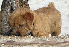 Henry the Norfolk Terrier