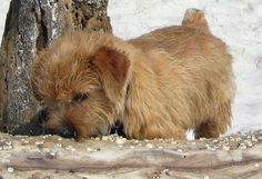 Henry the Norfolk Terrier