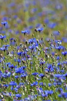 Desktop wallpaper of a Blue Cornflower meadow at Naturescape wildflower centre