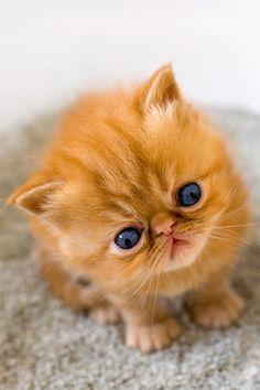 Fluffy Kitten with blue eyes