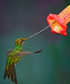 Swordbill Hummingbird (Ensifera ensifera), a species found in the high elevations of the northern part of South America. It is the only species that have a bill longer than its body.