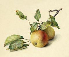 Яблоки. с акварели П. Шульц, 1815 г.