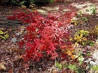 PintoMaples: Acer palmatum Suminigashi