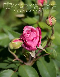 Photography by Tara Quinonez Beautiful Pink Roses, Rose Photos, Flowers, Plants, Photography, Photograph, Florals, Photo Shoot, Plant