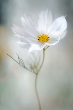 tinnacriss:   	Cosmos by Mandy Disher