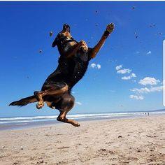 It's a bird? It's a plane? ......... No it's SUPERKELPIE!!!!!! . #superman #supergirl #flyingkelpie #siperdog #flyingdog #bigjump #speckie #highflyer #kelpiecountry #kelpiekuntry #australiankelpie #instakelpies #ilovemydog #dogs #dogsofaustralia #dogstagram #dogslife #kelpiesofinstagram #kelpiegram #kelpieworld #beachbum #beachfun #dccomics #superhero #superheros #beachlife #beachvibes . InstaCredit: @kelpie_roy Flying Dog, Beach Bum, Supergirl, Cattle, Superman, Plane, Dc Comics, Australia, Bird