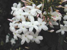 10 Bastoncini Ritagli Star Jasmine JASMINUM officinale trachelospermum jasmino