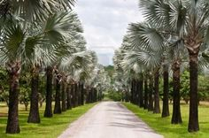 Thailand- Bismarck palm my favorite