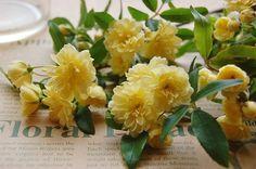 木香バラ Banksiaroses 花言葉。。。幼い頃の幸せな思い出