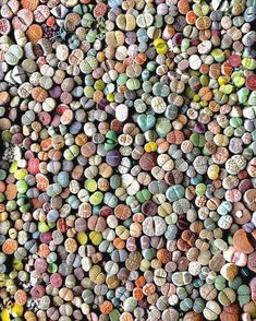 How many Lithops are in this photo? Cacti And Succulents, Planting Succulents, Cactus Plants, Garden Plants, Indoor Plants, House Plants, Planting Flowers, Succulent Gardening, Succulent Pots